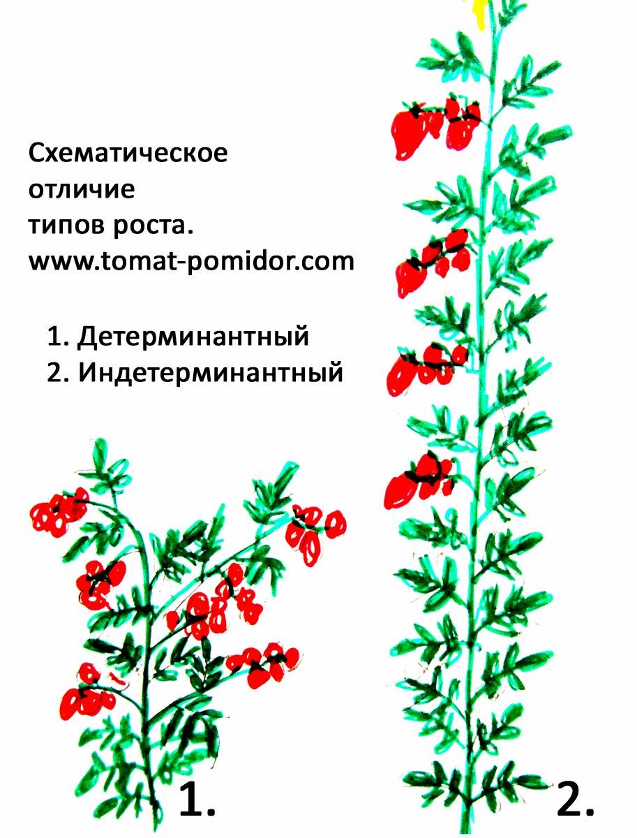 что такое индетерминантный томат