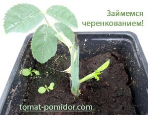 cherenok-1