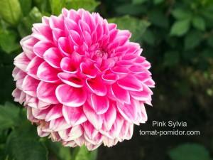 Pink Sylvia